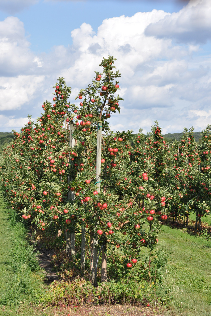 Apple tree, Kivik